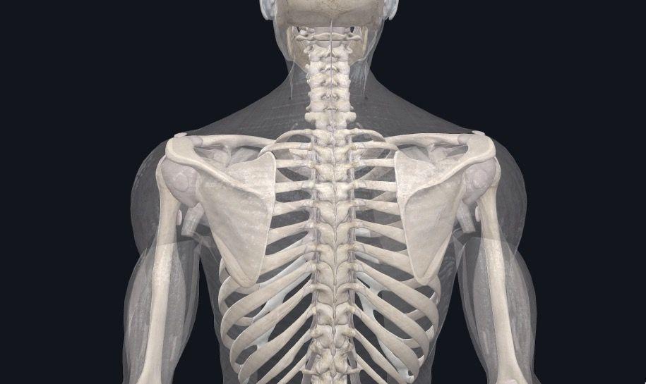 Schulterblatt Anatomie