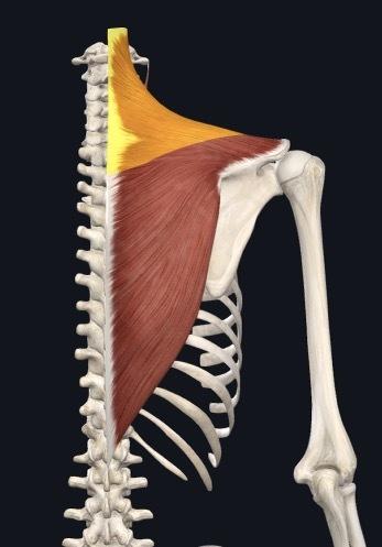Trapezmuskel verkürzt